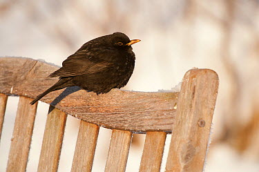 Male Blackbird (Turdus merula) perched on garden seat in winter, with feathers ruffled to insulate against cold, Scotland, UK, December 2010  -  Mark Hamblin/ 2020V/ npl