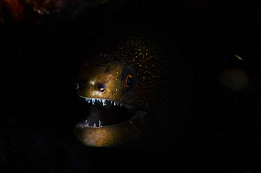 Green moray eel (Gymnothorax funebris) mouth open surrounded by darkness, Bonaire, Netherlands Antilles, Caribbean  -  Pete Oxford/ npl