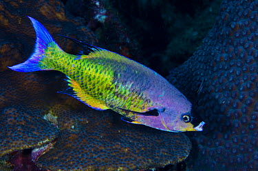 Creole wrasse (Clepticus parrae)  -  Pete Oxford/ npl