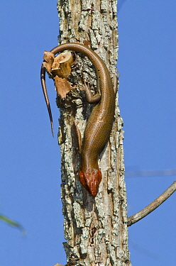 Broad-headed skink (Eumeces laticeps) male on tree trunk, The Orianne Indigo Snake Preserve,  -  Pete Oxford/ npl