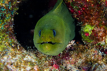 Green moray eel (Gymnothorax funebris) front portrait, Bonaire, Netherlands Antilles, Caribbean  -  Pete Oxford/ npl