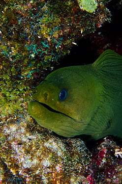 Green moray eel (Gymnothorax funebris)  -  Pete Oxford/ npl