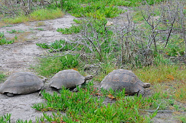 Leopard tortoise (Stigmochelys pardalis) two males following female, deHoop Nature reserve, Western Cape, South Africa  -  Tony Phelps/ npl