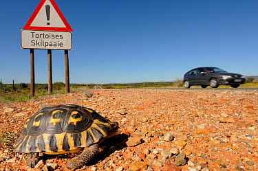Angulate tortoise (Chersina angulata) adult male crossing road with tortoise traffic warning sign and car passing on Route 62 near Oudtshoorn, Little Karoo, Western Cape, South Africa  -  Tony Phelps/ npl
