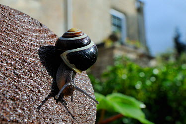White-lipped snail (Cepaea hortensis) crawling over wooden hand rail in garden, with house in background, Wiltshire, England, UK, October  -  Nick Upton/ 2020V/ npl