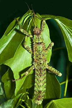 New Guinea Spiny Stick Insect (Eurycantha calcarata) leaf Captive Endemic to Papua New Guinea, UK, May  -  Rod Williams/ npl