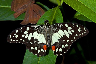 Chequered, Lime Swallowtail Butterfly (Papilio demoleus) Captive Endemic to Thailand UK, June  -  Rod Williams/ npl