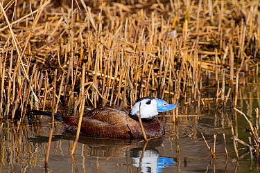 Male White-headed Duck (Oxyura leucocephala) Endemic Mediterranean to north-west China Endangered UK, March  -  Rod Williams/ npl