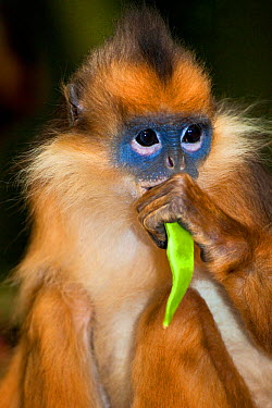Banded Leaf Monkey, Sumatran Surili (Presbytis melalophos) feeding Captive Endemic to central and south Sumatra Endangered UK, June  -  Rod Williams/ npl