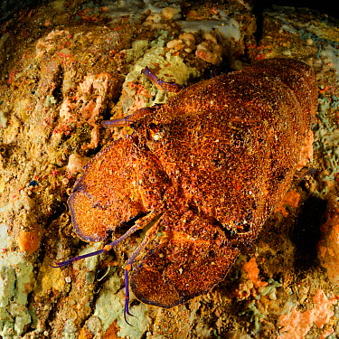 Mediterranean slipper, Spanish lobster (Scyllarides latus) San Pietro Island, Sardinia, Italy, Mediterranean, July  -  Solvin Zankl/ npl