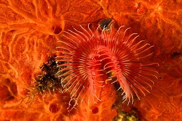 Red tube worm (Serpula vermicularis) San Pietro Island, Sardinia, Italy, Mediterranean, July  -  Solvin Zankl/ npl