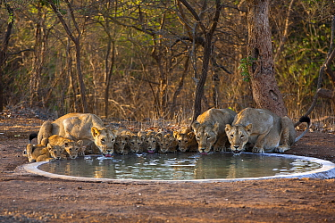 Asiatic lionesses and cubs (Panther leo persica) drinking from pool, Gir Forest NP, Gujarat, India Water is scarce in the Gir, so Forest staff keep a network of drinking pools topped up for the wildli...  -  Uri Golman/ npl