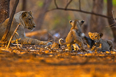 Asiatic lioness (Panther leo persica) watching over two playful cubs, Gir Forest NP, Gujarat, India  -  Uri Golman/ npl