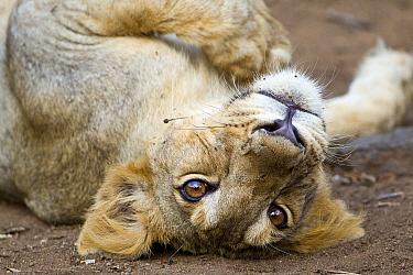 Asiatic lion (Panther leo persica) sub-adult rolling, Gir Forest NP, Gujarat, India  -  Uri Golman/ npl