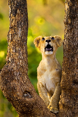 Asiatic lion cub (Panther leo persica) looking up into tree, possibly at a bird, Gir Forest NP, Gujarat, India  -  Uri Golman/ npl
