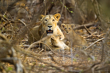 Asiatic lioness with two cubs (Panther leo persica), Gir Forest NP, Gujarat, India  -  Uri Golman/ npl
