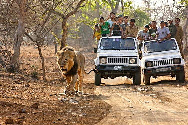 Tourists watching an Asiatic male lion (Panther leo persica) from safari jeeps, Gir Forest NP, Gujarat, India  -  Uri Golman/ npl