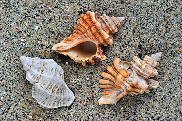 Sting winkle, Oyster drill, Hedgehog Murex (Ocenebra erinacea) shells on beach, Brittany, France  -  Philippe Clement/ npl