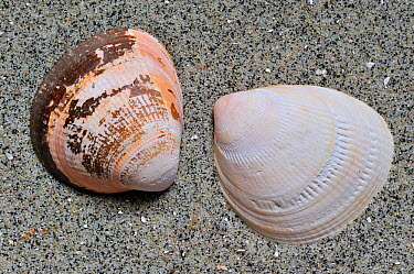 Smooth, Norway cockle (Laevicardium crassum) shells on beach, Brittany, France  -  Philippe Clement/ npl