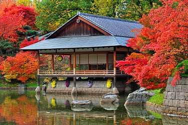Traditional tea house along pond and Smooth Japanese maples (Acer palmatum) showing leaves in colourful red and orange autumn colours at Japanese garden in Hasselt, Belgium  -  Philippe Clement/ npl