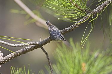 Corsican nuthatch (Sitta whiteheadi) in Corsican pine (Pinus nigra ssp laricio) forest, Gorges de la Restonica, Corsica, France, April  -  Mike Read/ npl