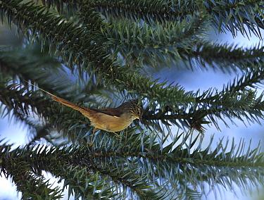 Araucaria tit-spinetail (Leptasthenura setaria), a bird typical of Araucaria pine trees (Araucaria angustifolia) in the Atlantic Rainforest of the locality of Visconde de Mauai, municipality of Resend...  -  Luiz Claudio Marigo/ npl