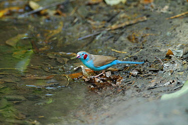 Red-cheeked cordon-bleu (Uraeginthus bengalus) male drinking from forest pool, The Gambia, December  -  Mike Wilkes/ npl