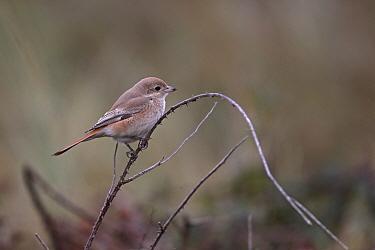 Isabelline shrike (Lanius isabellinus) Norfolk, UK, October  -  Robin Chittenden/ npl