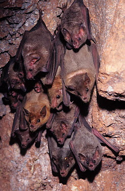 Mexican, Jamaican fruit bat (Artibeus jamaicensis) roosting on cave wall, Alamos, Sonora, Mexico  -  Barry Mansell/ npl
