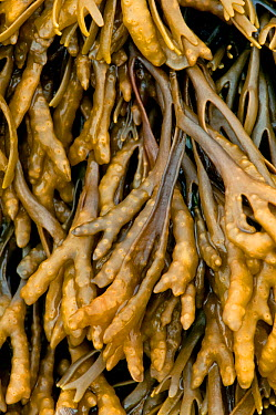 Channelled wrack (Pelvetia canaliculata) showing detail of channel on underside of frond, UK, August  -  Adrian Davies/ npl