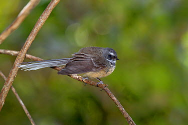 New Zealand Fantail (Rhipidura fuliginosa) perched in a bush Kaikoura, Canterbury, New Zealand, October  -  Brent Stephenson/ npl