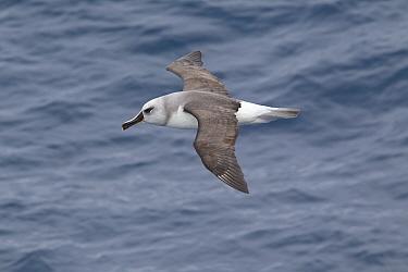 Immature Grey-Headed Albatross (Thalassarche chrysostoma) in flight showing upperwing Drake Passage, South Atlantic, December  -  Brent Stephenson/ npl