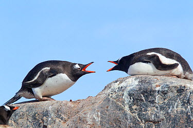 Two Gentoo Penguins (Pygoscelis papua) jab at each other with open bills Mikkelsen Harbour, Antarctic Peninsula, Antarctica, December  -  Brent Stephenson/ npl