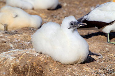 Australasian Gannet (Morus serrator) chick approximately six weeks old at the nest Cape Kidnappers, Hawkes Bay, New Zealand, January  -  Brent Stephenson/ npl