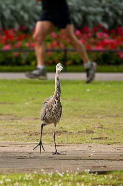 Juvenile Grey heron (Ardea cinerea) walking towards the camera, with a jogger running past in the background, Regent's Park, London, England, UK, July  -  Bertie Gregory/ 2020V/ npl
