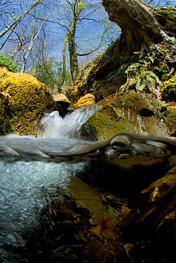 Split level view of a fast flowing woodland stream, Maentwrog, Snowdonia NP, Gwynedd, Wales, UK, April  -  Graham Eaton/ npl