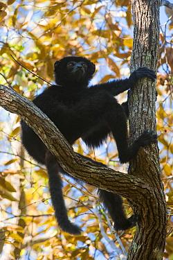 Perrier's sifaka (Propithecus perrieri) climbing tree, Analamera Forest, Madagascar, Critically endangered, November 2010  -  Inaki Relanzon/ npl
