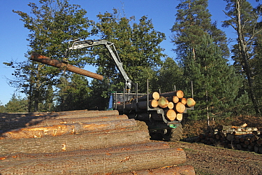 Forwarder stacking timber by side of the track ready for collection, Frame Heath Inclosure, New Forest National Park, Hampshire, UK, October 2010  -  Mike Read/ npl