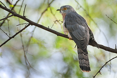Common Hawk cuckoo (Hierococcyx fugax), Keoladeo Ghana NP, Bharatpur, Rajasthan, India  -  Bernard Castelein/ npl