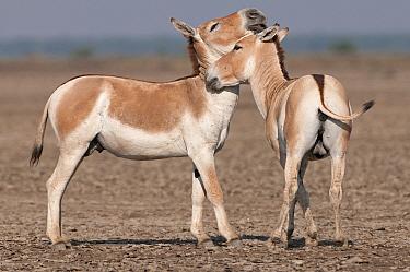 Khur, Asiatic wild ass (Equus hemionus) two nuzzling each other, Little Rann of Kutch, Gujarat, India  -  Bernard Castelein/ npl