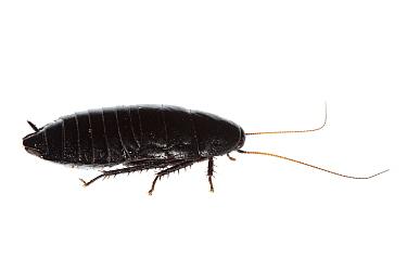Wood cockroach (Panesthis sp) Canberra, ACT, Australia, August meetyourneighboursnet project  -  MYN/ David Wong/ npl