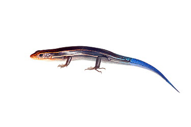 Southeastern five-lined skink (Eumeces inexpectatus) Florida, USA, July meetyourneighboursnet project  -  MYN/ Paul Marcellini/ npl