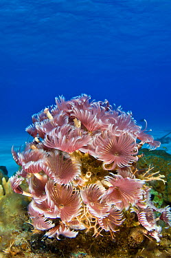 Feather duster worms (Bispira brunnea) colony extended and filter feeding in the clear blue waters of The Bahamas, Caribbean Sea  -  Alex Mustard/ npl