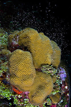 Boulder star coral (Montastrea annularis) colony spawning at night in late summer, showing the start of synchronised release of bundles of eggs and sperm from the polyps of the coral, East End, Grand...  -  Alex Mustard/ npl