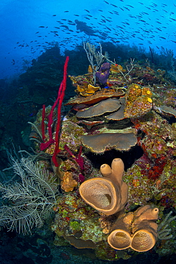 A bustling coral reef scene with sponges (Agelas conifera; Amphimedon compressa) soft and hard corals and a school of Creole wrasse (Clepticus parrae) East End, Grand Cayman, Cayman Islands, British W...  -  Alex Mustard/ npl