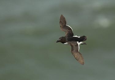 Razorbill (Alca torda) in flight Bempton Cliffs, Yorkshire, July  -  Paul Hobson/ npl