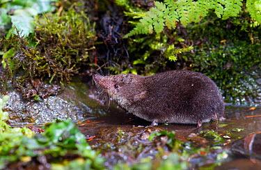 Water Shrew (Neomys fodiens) at pond edge South Yorkshire, UK, July  -  Paul Hobson/ npl
