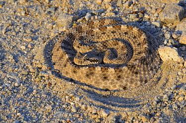Sidewinder rattlesnake (Crotalus cerastes) partially concealed in sand, Mojave Desert, California, USA  -  Gerrit Vyn/ npl