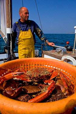 Fisherman heading back to port with a full basket of Edible crabs (Cancer pagurus) and Spiny spider crabs (Maja squinado), caught using pots from 'Rhiannon', a crabber based in Porthleven, Cornwall, E...  -  Toby Roxburgh/ 2020V/ npl