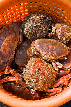Basket of Edible crabs (Cancer pagurus) and Spiny spider crabs (Maja squinado), caught using pots, Cornwall, England, UK, April 2011  -  Toby Roxburgh/ 2020V/ npl